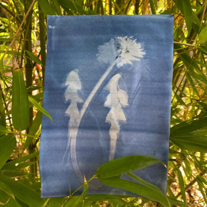 sunpaper printing with dandelions
